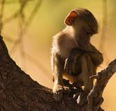 Young baboon while relaxing Royalty Free Stock Images