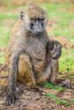 Young baboon resting in the Nakuru national park (Kenya) Stock Image