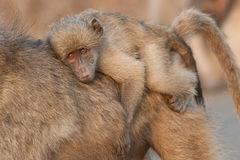 Young baboon riding on its mother's back. Large primate with broke or U-shaped tail; coat colour vary from dark grey to grey-brown; males significantly larger Stock Image