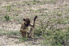 Young baboon, Selous Game Reserve, Tanzania Stock Photo