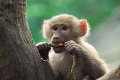 Young Baboon. A shot of an Hamadryas baboon in a tree stock image