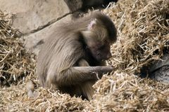 A young baboon. This is a side view of a young baboon stock photo