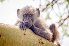 Young baboon sitting on branch and looking. In Lake Manyara National Park, Tanzania, Africa royalty free stock photography