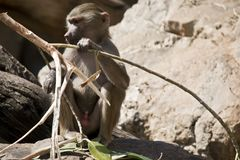 A young baboon. The young baboon is sitting eating bamboo royalty free stock images