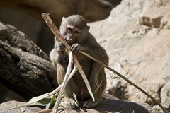A young baboon. The young baboon is sitting eating bamboo stock photography