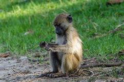 Young baboon Royalty Free Stock Photo