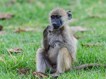 Young baboon Royalty Free Stock Photos