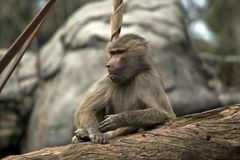 A young baboon. The young baboon is sitting on a log resting royalty free stock photography