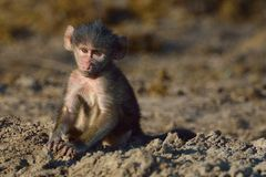 Young baboon staring. In Chobe River Botswana Stock Photos