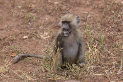 A young baboon thinking Stock Photos
