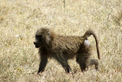 A young baboon walking. In the grass Royalty Free Stock Photography