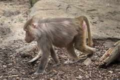 Baboon walking along the ground stock images