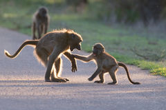 Young baboons playing in a road late afternoon before going back Stock Photography