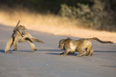 Young baboons playing in a road late afternoon before going back Royalty Free Stock Photos