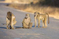 Young baboons playing in a road late afternoon before going back Royalty Free Stock Photography
