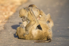 Young baboons playing in a road late afternoon before going back Stock Photo