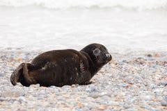 Young baby atlantic Grey Seal Royalty Free Stock Photo