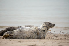 Young baby atlantic Grey Seal Royalty Free Stock Images