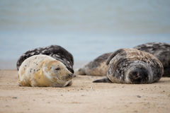 Young baby atlantic Grey Seal Royalty Free Stock Photos