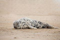 Young baby atlantic Grey Seal Royalty Free Stock Photo
