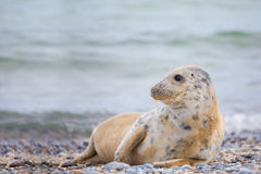 Young baby atlantic Grey Seal Stock Photo