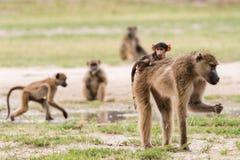 Young baby baboon on moms back. Young baby Chacma Baboon (Papio ursinus) riding on mom's back whle foraging, Okavango Delta, Botswana stock photo