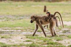 Young baby baboon on moms back. Young baby Chacma Baboon (Papio ursinus) riding on mom's back whle foraging, Okavango Delta, Botswana royalty free stock photo