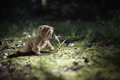 Young baby in a bear outfit crawling. On the ground Royalty Free Stock Photography
