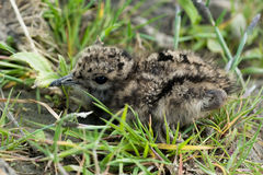 Young baby bird of a lapwing Royalty Free Stock Photos