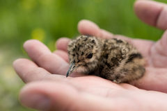 Young baby bird of a lapwing Stock Images