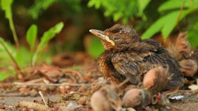 Young baby bird sittin on the ground stock video