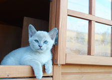 Young baby Burmese lilac cream white kitten watching the world go by Royalty Free Stock Photography