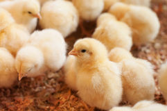 Young baby chicken Royalty Free Stock Photos