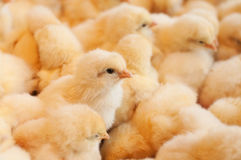 Young baby chicks Stock Image