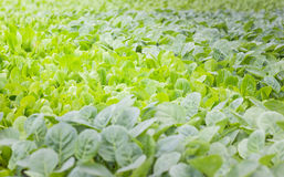 Young baby of Chinese kale. Young baby of Chinese kale, organic vegetables farm stock photo