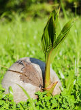 Young baby coconut tree. A new born baby coconut tree on the grass with the morning sunlight Stock Image