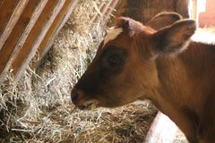 Young brown calf in a barn eating hay Royalty Free Stock Image