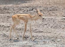 Young baby deer in open field Stock Image