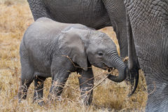 Young, baby elephant hovers in the protection of the herd Royalty Free Stock Photo