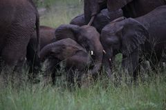 Young Baby Elephants Playing in Hwage National Park, Zimbabwe, Elephant, Tusks, Elephant`s Eye Lodge stock photography