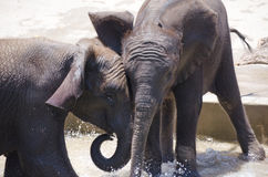 Young baby elephants playing together in the water Royalty Free Stock Photography