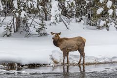Young baby elk walks by river`s edge in Yellowstone royalty free stock photos