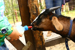 Young baby goat drink milk from nipple bollte Royalty Free Stock Photos
