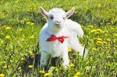 Young baby goat with red bow-knot Stock Photo