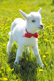 Young baby goat with red bow-knot Stock Photos