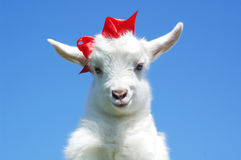 Young baby goat with red bow-knot Royalty Free Stock Image