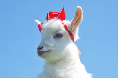 Young baby goat with red bow-knot Stock Photography