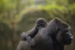 A young baby gorilla on the back of mother Stock Image