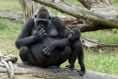 Young baby gorilla and mother. Young baby gorilla with mother Royalty Free Stock Image