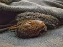 Baby squirrel sleeping under a blanket. A young, baby grey squirrel sleeping under a grey blanket to stay warm stock photos